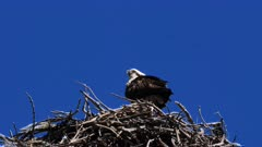 Eastern Osprey perched on nest, backwards,flees, slowmo