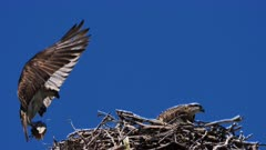 Eastern Osprey on nest, male arrives with fish, morning wide