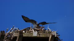 Eastern Osprey on nest, both parents arrive consecutely to the nest, first the male with a fish, afternoon