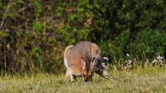 Red-necked Wallaby, grazing, raises head on alert, later raises body and continues grazing, hill, wide