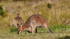 Red-necked Wallaby, grazing, raises on alert and continues grazing, juvenile at the back, hill, wide