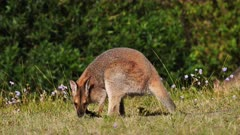 Red-necked Wallaby, grazing,another one enters frame (out of focus) bush at the back wide