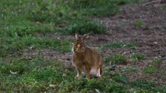 Feral Rabbit grazing, late afternoon, wide