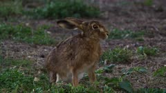 Feral Rabbit Feral Rabbit on the alert, late afternoon, flees, close