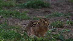 Feral Rabbit on the alert, late afternoon, medium