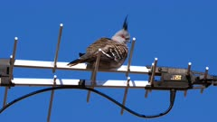 Crested Pigeon perched on a TV antenna, wide