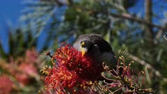 Noisy Miner licking Grevillea flowers, calling, close