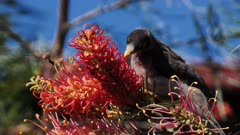 Noisy Miner licking Grevillea flowers, calling, close up