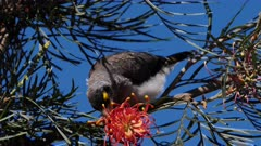 Noisy Miner licking Grevillea flowers, calling, close, flees