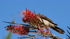 Noisy Miner licking Grevillea flowers, calling, close, late afternoon