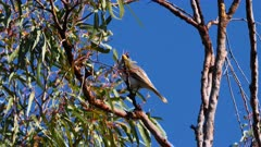 Noisy Miner preening on a gumtree, wide, calls,  flees