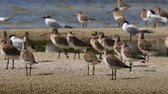 Bar-tailed Godwit flock on a roosting place, high tide, walking