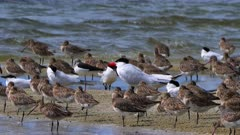 Gull-billed Tern roosting, surrounded by Godwits, wide