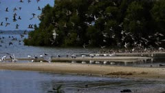 Shore birds, flock, landing in a roosting place, wide