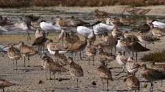 Whimbrel in a roosting place, some godwits and terns, wide