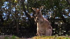 Eastern Grey Kangaroo on coastal village,  eating grass roots