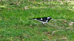 Magpie-Lark (male) catching insects on the ground