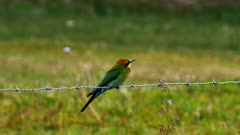 Rainbow Bee-eater, perched on barbed wire, male, wide, shuffles feathers