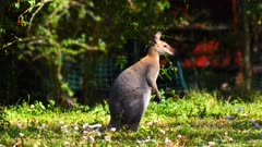 Red-necked Wallaby wandering in a bushy suburb in Brisbane