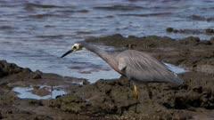 White-Faced Heron hunting for prey on a rocky-muddy shoreline, catches one 01