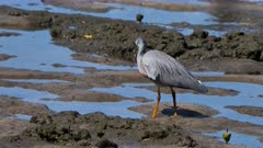 White-Faced Heron hunting for prey on a rocky-muddy shoreline, catches one 04