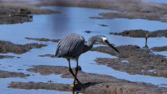 White-Faced Heron hunting for prey on a rocky-muddy shoreline, catches one 05