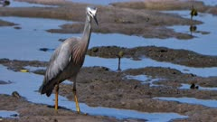 White-Faced Heron hunting for prey on a rocky-muddy shoreline, catches one 07