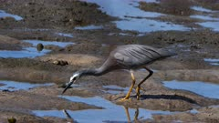 White-Faced Heron hunting for prey on a rocky-muddy shoreline, catches one 08