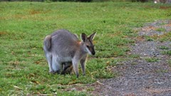 Red-necked Wallaby grazing with the joy inside looking out 1, wide