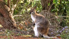 Red-necked Wallaby mother and joy in pouch grazing on a hill, out of focus bush at back