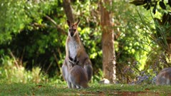 Red-necked Wallaby joy inside, scratches, preens and leaves