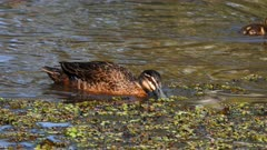 Pacific Black Duck, adult with ducklings on pond