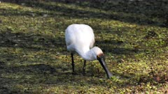 Royal Spoonbill feeding on a pond's edge, front view, shade