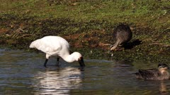 Royal Spoonbill feeding on a pond's edge, water reflex