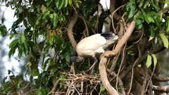 Australian White Ibis on nest, arguing with neighbors