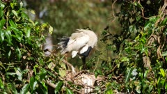 Australian White Ibis on nest, on nest, male with nuptial  feathers preening