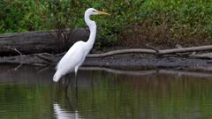 Eastern Great Egret in fishing mode in a pond