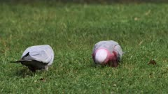 Galah feeding on grass roots, pair