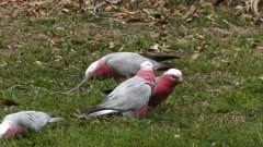 Galah feeding on grass roots, four