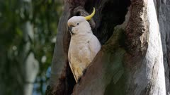 Sulphur-crested Cockatoo, male perched at the entrance of the hole-nest wide showing the gumtree trunk