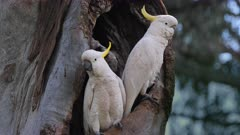 Sulphur-crested Cockatoo,couple at the entrance of the hole-nest, one goes up on the tree