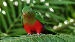 Australian King Parrot, female on a palm tree leave, flees, close