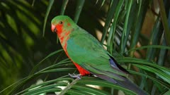 Australian King Parrot, juvenile changing to adult on a palm tree leave, a female arrives and kicks him out, close