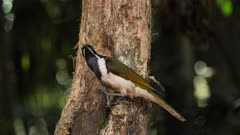 Blue-faced Honeyeater getting some food from a tree trunk, medium 02