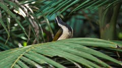 Blue-faced Honeyeater on a palm tree leave, flees