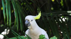Sulphur-crested Cockatoo,eating seeds on a feeder, close up