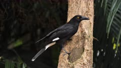 Pied Currawong taking food from a tree trunk, wide 01