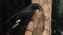 Pied Currawong taking food from a tree trunk, close 01