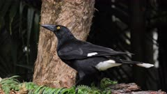 Pied Currawong taking food from a feeder, close