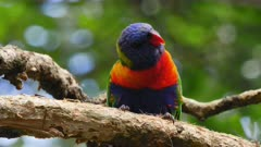 Rainbow Lorikeet on a branch, waiving around and communicating with the flock